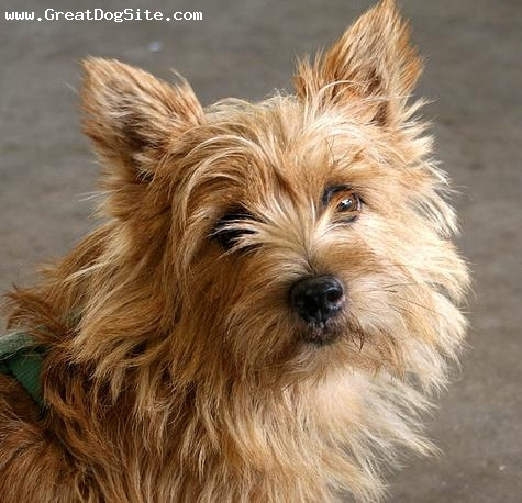 Norwich Terrier, 2 years, Brown, close up